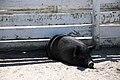 Norfolk Zoo Guinea Hog.jpg