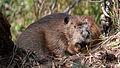 North American Beaver (Castor canadensis) - Algonquin Provincial Park, Ontario 02.jpg