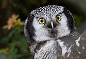 Northern Hawk Owl (Surnia ulula).jpg