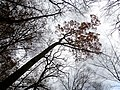 Northern Red Oak (30486485814).jpg