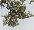 Nothofagus solandri in Cullen Point SR 03.jpg