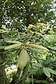 Notholithocarpus densiflorus kz04.jpg