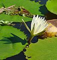 Nymphaea ampla, the Lirio de Agua - Flickr - Dick Culbert.jpg