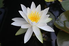 Nymphaea japan