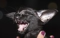 OSH Margosha of Marikacats (14187689881).jpg