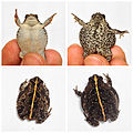 Oak toad, sexual dimorphism, eshashoua pd.jpg