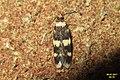 Oegoconia cf. quadripuncta (FG) (36704189374).jpg