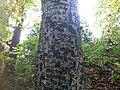 Old beech tree trunk at Mount Manresa.JPG