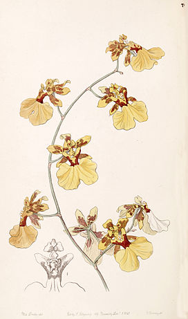 Oncidium reflexum (as Oncidium pelicanum) - Edwards vol 33 (NS 10) pl 70 (1847).jpg
