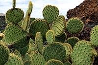 Opuntia scheeri in Jardin de Cactus on Lanzarote, June 2013 (4).jpg
