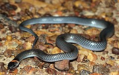 Orange-naped Snake (Furina ornata) (8691220583).jpg