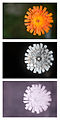 Orange Hawkweed (Pilosella aurantiaca) flower spectral comparison Vis UV IR.jpg
