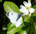 Orange tip. Female. Anthocharis cardamines. Pieridae. - Flickr - gailhampshire.jpg