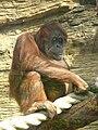 Orangutan (sumatran) 02.JPG
