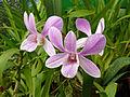 Orchidées-Jardin botanique de Peradeniya-Sri Lanka (5).jpg