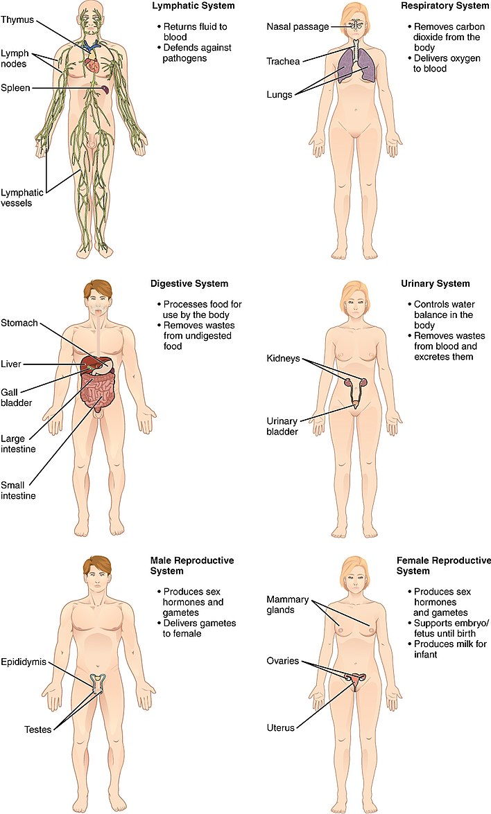 List Of Systems Of The Human Body Wikiwand
