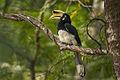 Oriental Pied Hornbill - Thailand H8O6098 (16222267229).jpg