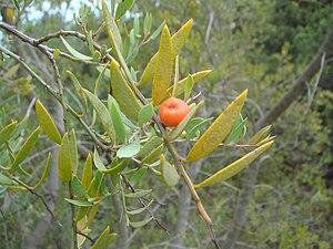 Osyris lanceolata - Osyris lanceolata in Cádiz, (Spain)