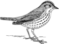Ovenbird 2 (PSF).png