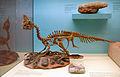 Oviraptor Senckenberg.jpg