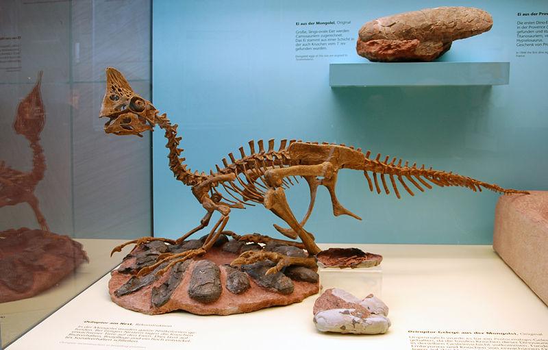800px Oviraptor Senckenberg Dinos waren gute Väter!