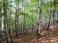 Pădurea de argint Dobreni 11.JPG