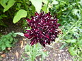 P1000252 Scabiosa atropurpurea (Sweet scabious) (Oporto).JPG