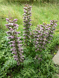P1000255 Acanthus spinosus (Spiny bear's breeches) (Acanthaceae) Plant.JPG