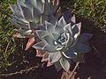 P20131226-0012—Dudleya farinosa—RPBG (11656520774).jpg