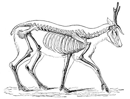 PSM V04 D549 Skeleton of the deer.jpg