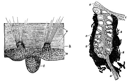 PSM V34 D115 Sense organs of an aglaura hemistoma and a leech.jpg
