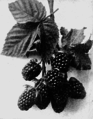 PSM V66 D208 Artificially produced fixed rubus primus.png
