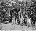 PSM V84 D307 Giant cactus and desert trees.jpg