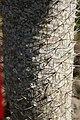 Pachypodium geayi 7zz.jpg