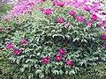 Paeonia suffruticosa 01.JPG