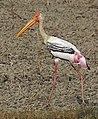 Painted stork (Mycteria Leucocephala) adult.jpg