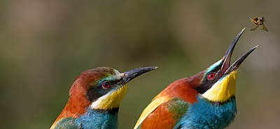 Pair of merops apiaster feeding cropped.jpg