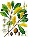 Palaquium gutta - Köhler–s Medizinal-Pflanzen-099.jpg