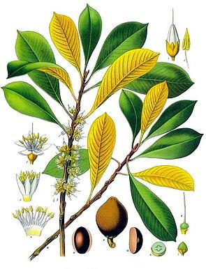 Guttaperchabaum (Palaquium gutta), Illustration
