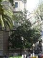 Palau Casades - magnòlia P1460869.jpg