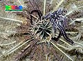 Pale feather star with Feather-hitching brittle star (Ophiomaza cacaotica).jpg