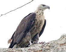 Pallas's Fish Eagle ( Haliaeetus leucoryphus) - Flickr - Lip Kee (2).jpg