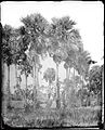 Palmyra palms, Siam by John Thomson Wellcome L0056219.jpg