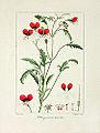Pancrace Bessa 14 Pelargonium tricolor.jpg