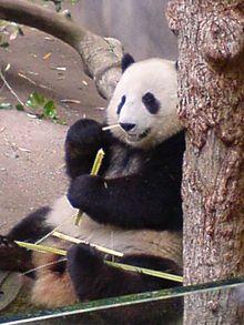 Panda pornography - Wikipedia