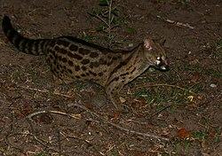 Panther Genet (Genetta maculata) (30556229264).jpg