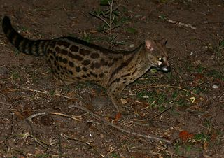 Rusty-spotted genet species of mammal