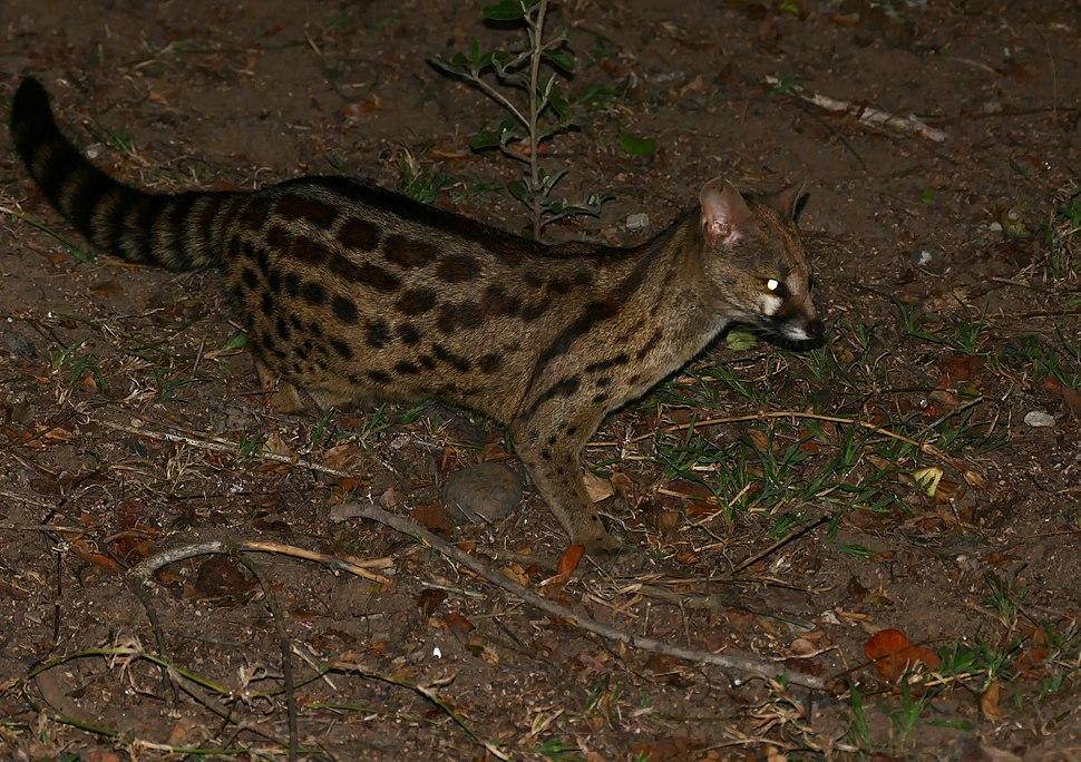 Panther Genet (Genetta maculata) (30556229264)
