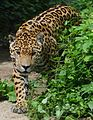 Panthera onca - Tiergarten Schönbrunn.jpg