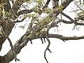 Panthera pardus in Tanzania 3712 Nevit.jpg